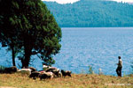 Sheep herds on the bank of the lake Rara